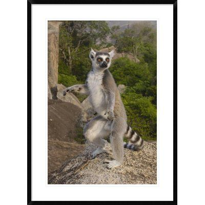 """Global Gallery 'Ring-Tailed Lemur Male Standing Upright' Framed Photographic Print Size: 36"""" H x 26"""" W x 1.5"""" D"""