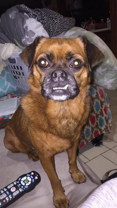 Meet Sophie An Adoptable Pug Looking For A Forever Home If You