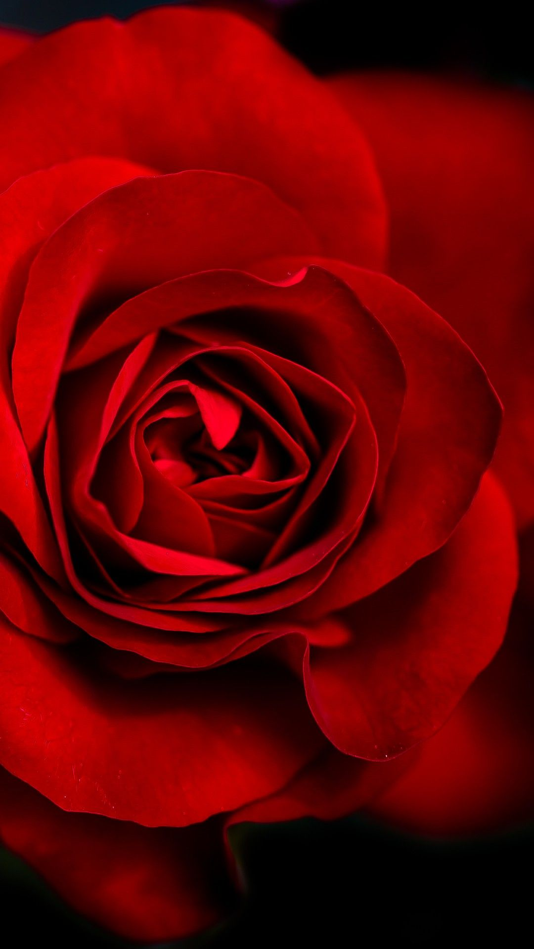 Red Rose Mobile Hd Wallpaper In 2020 Beautiful Rose Flowers Images Red Roses Red Roses Wallpaper