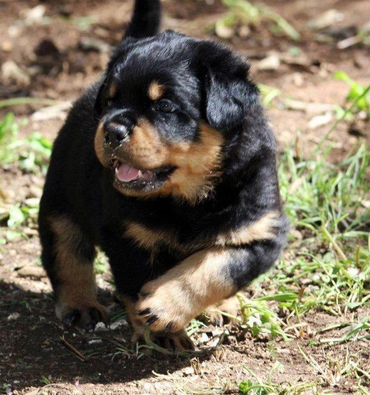 Rottweilerpups Rottweilers Rottweiler Puppies Dog Breeds