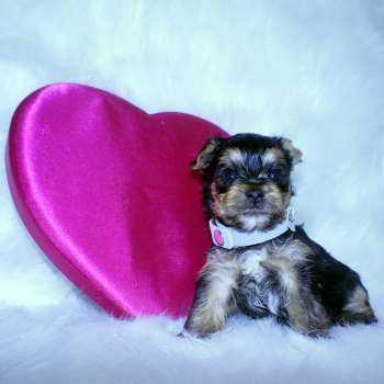 Missy Small Yorkie Puppy She Is Akc Registered Microchipped And Comes With A One Year Health Guarantee To View Other Teacup Yorkies Visit H Perros
