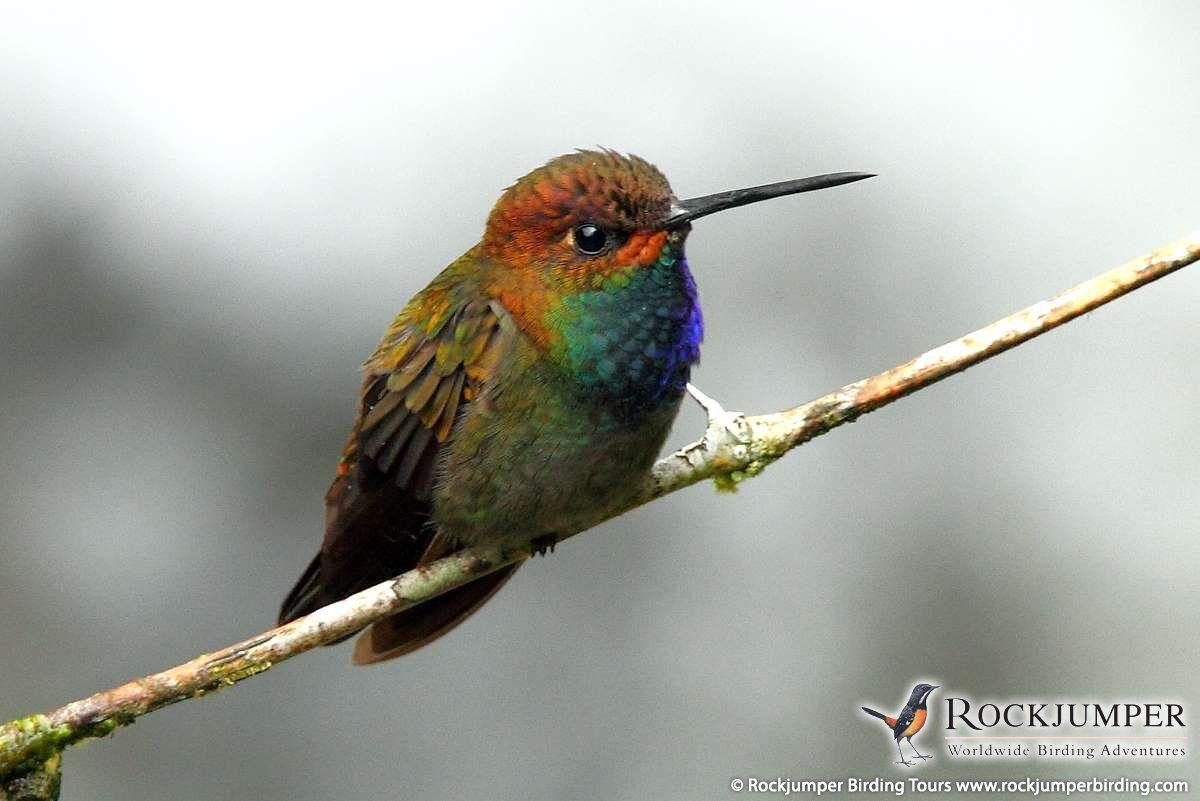 Galleries rockjumper birding tours worldwide birding