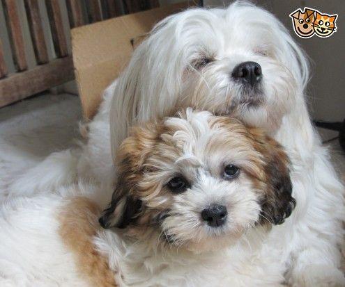 Maltese X Shih Tzu Shih Tzu Maltese Puppies