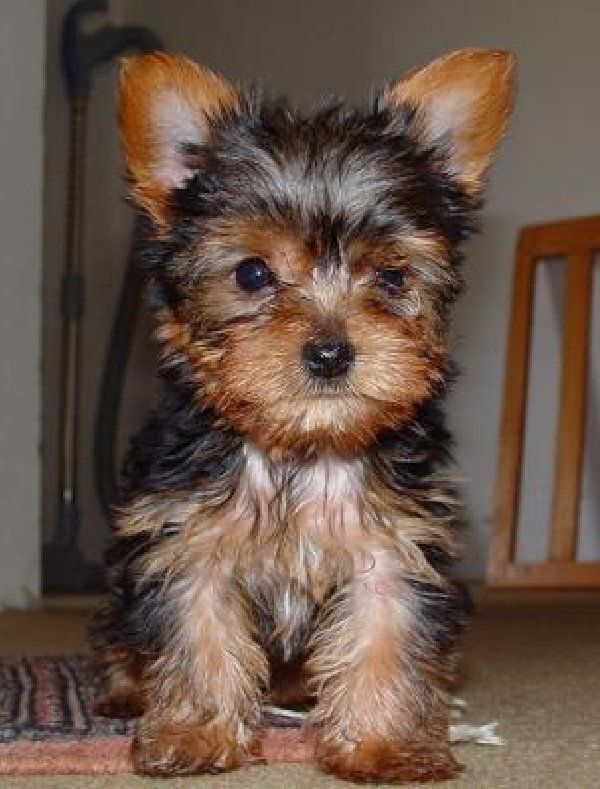 Yorkie Silky Terrier Puppies