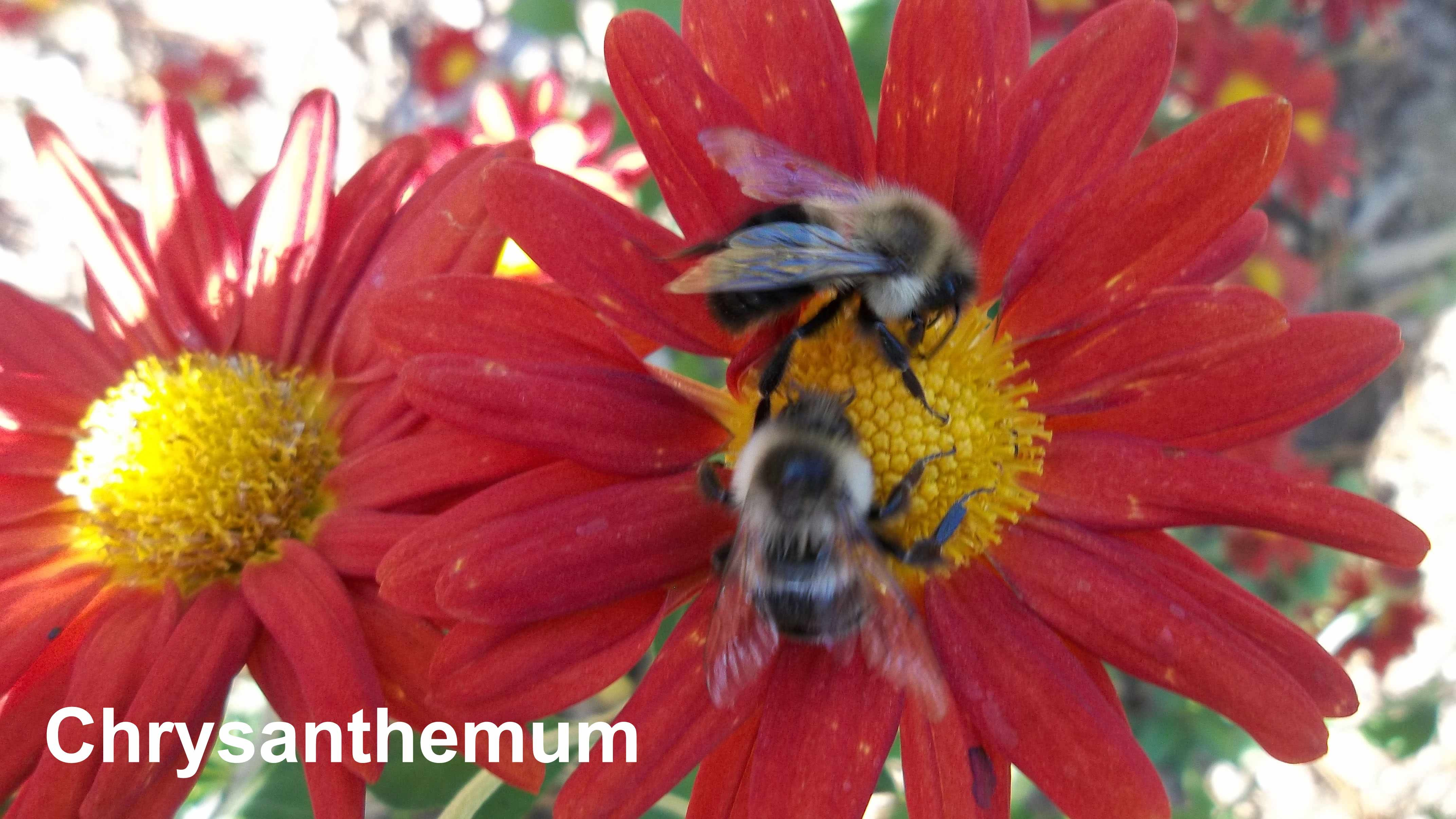 Chrysanthemum are visited by bees in fall.   Plant For Pollinators ...