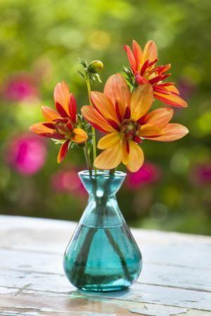 Dahlia 'Jescot Julie' in Turquoise Vase #PinToWin #Anthropologie