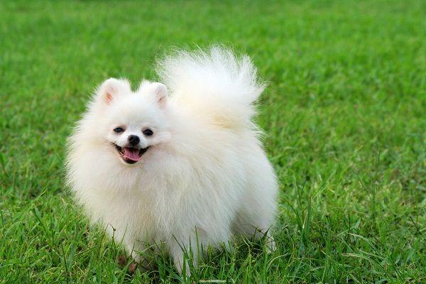 Cute White Pomeranian Dogs Wallpaper Dog Pinterest Pomeranian
