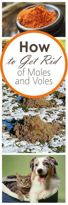 How to Get Rid of Moles and Voles ~ Bees and Roses#bees # ...