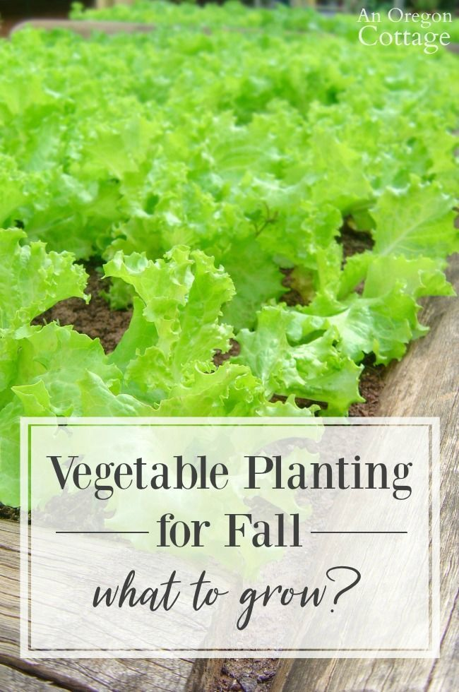 Curious about what to plant for fall (and into winter) in your garden? Here are 6 plants that will give you the most reward for your time! #fallgarden #fallvegetables #vegetablegardens #fall #anoregoncottage
