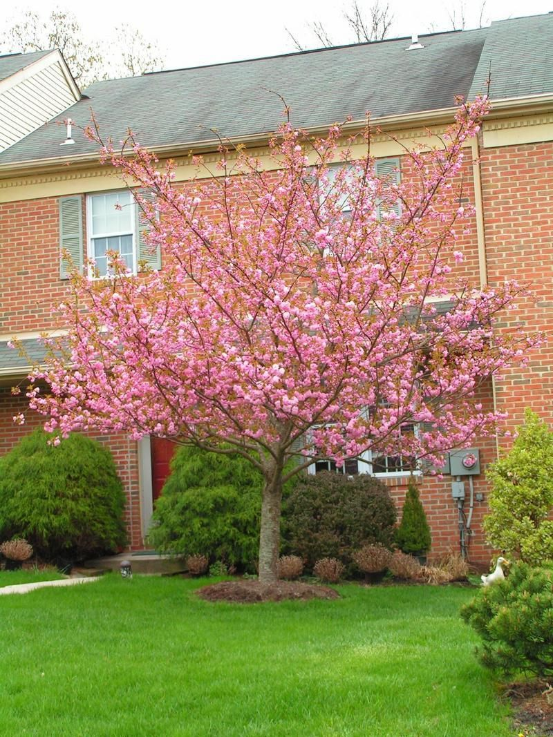 Full Size Picture Of Flowering Cherry Sheraton Cherry Kwanzan Cherry Kanzan Cherry Kanzan Prunus Serrulata Garden Trees Prunus Serrulata Prunus