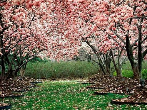 Delhi Almora Tour India Holidays India Vacations Cherry Blossom Wallpaper Blossom Trees Flowering Trees