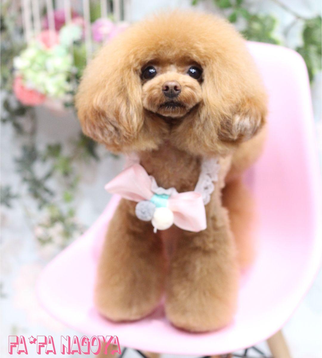 Fafa Nagoya キララちゃん Fafa名古屋店ではトリマースタッフを募集しています 詳しくはお気軽にお問い合わせください Fafa 大阪店 本店 Tel Fax06 7654 8529 Mailorder Fa Fa Net Fafa 名古屋店 Tel ペットサロン 可愛い犬 プードル