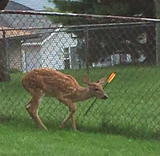 FAWN SPOTTED IN BRECKSVILLE BROADVIEW HEIGHTS WITH