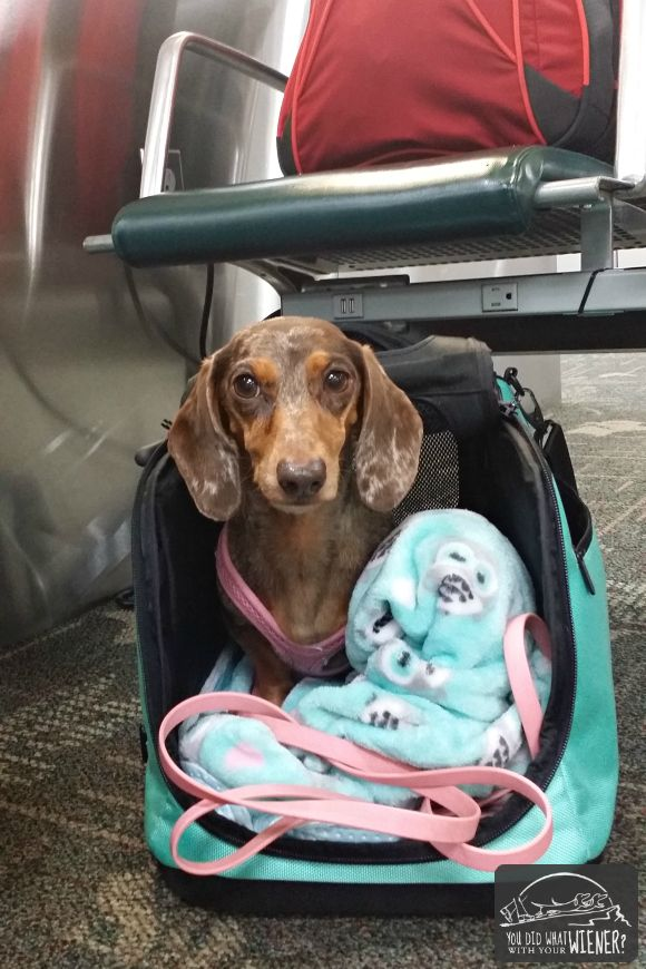 Flying With A Dog Sleepypod Air In Cabin Pet Carrier Review Flying Dog Dog Training Dogs