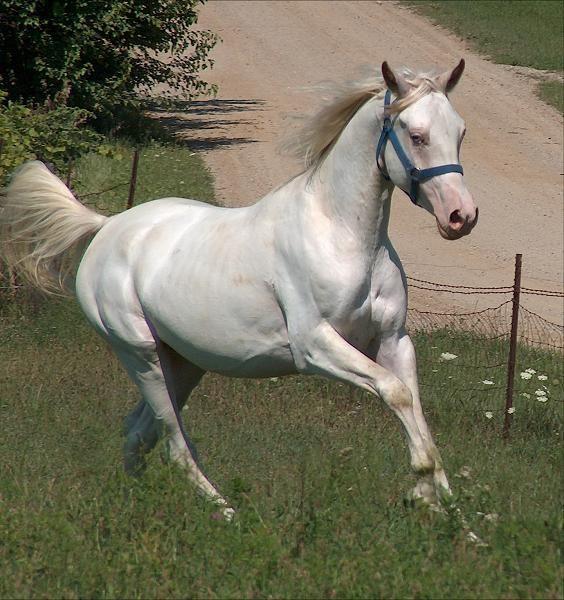 dominant white - Arabian stallion Kholor By Design | born ...