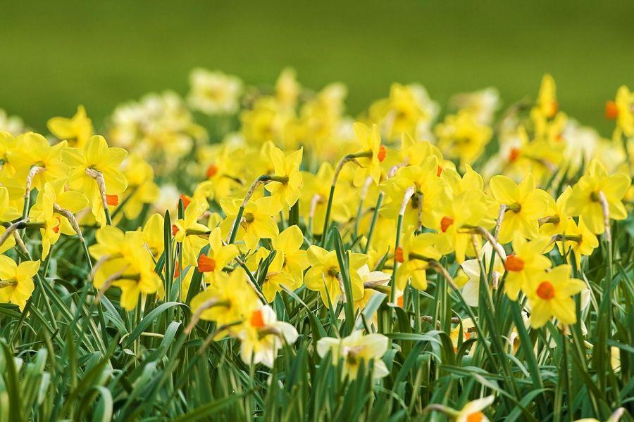 Planter Des Narcisses Pour 4 Mois De Fleurs Fleur Narcisse Fleurs Narcisse