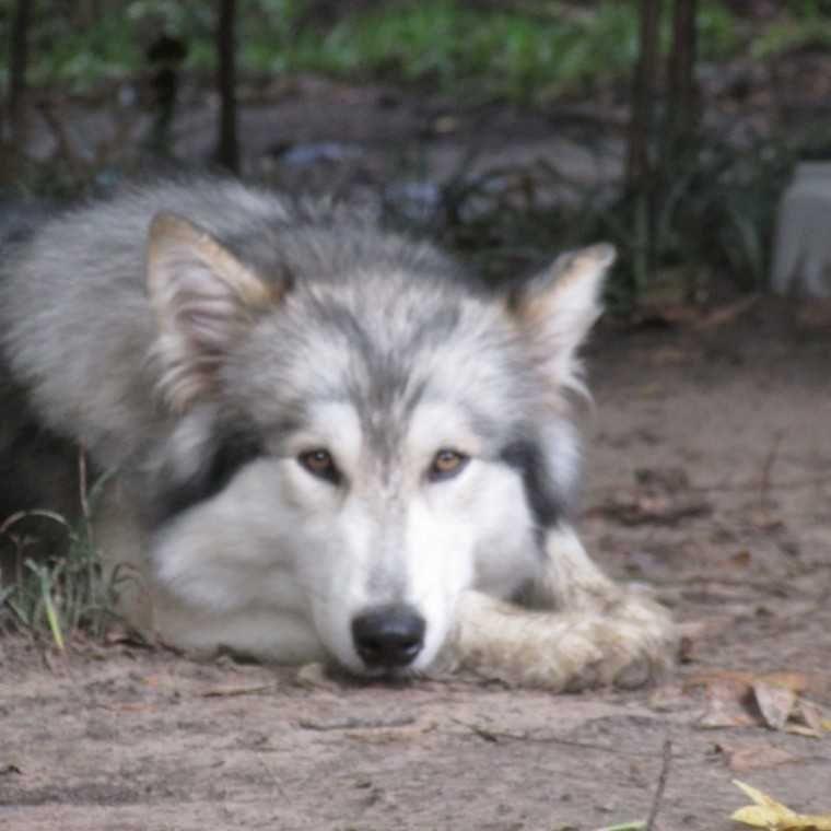 Malamute Wolf Mix Giant Alaskan M...
