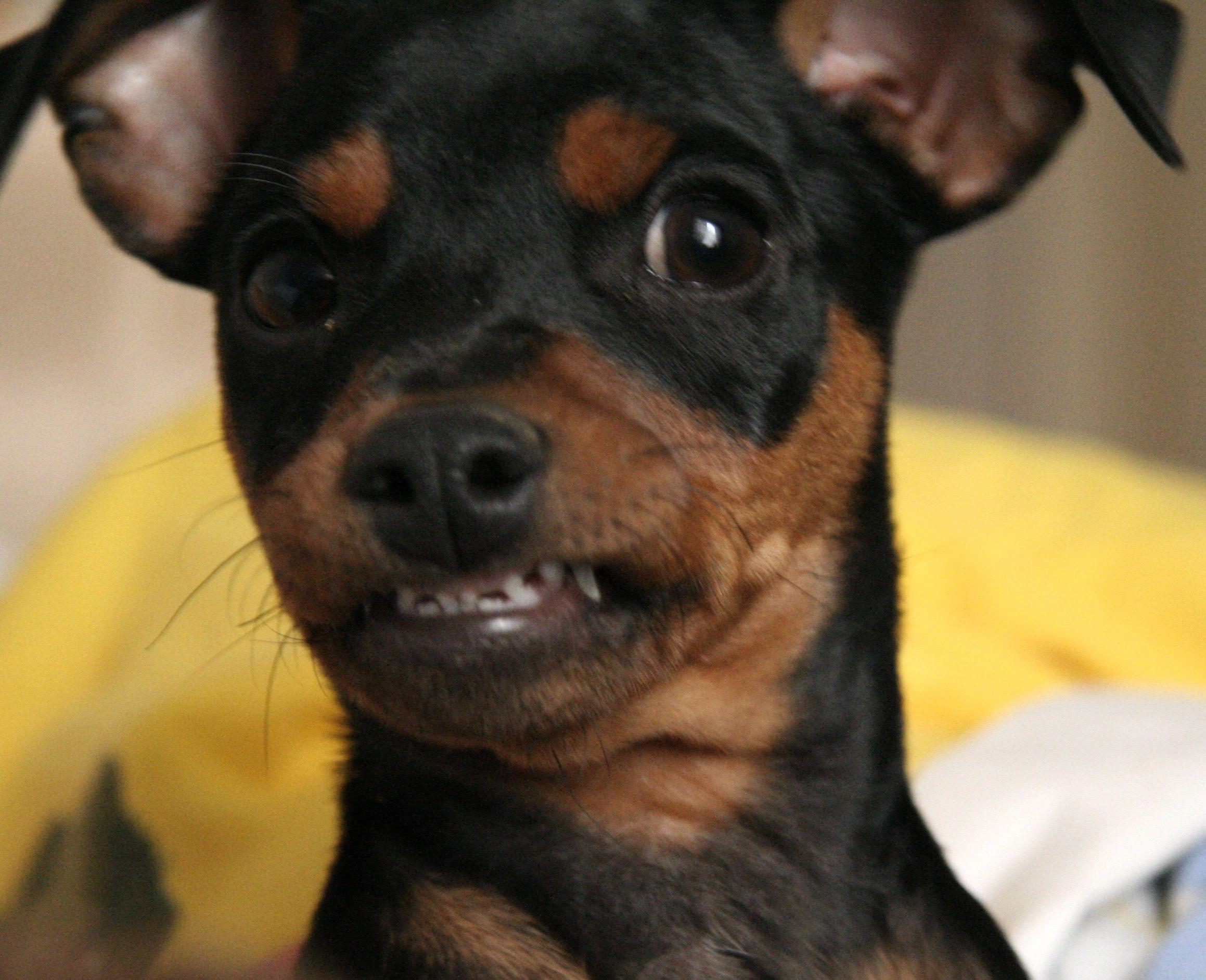 Smiles Mini Pinscher Miniature Pinscher Puppies