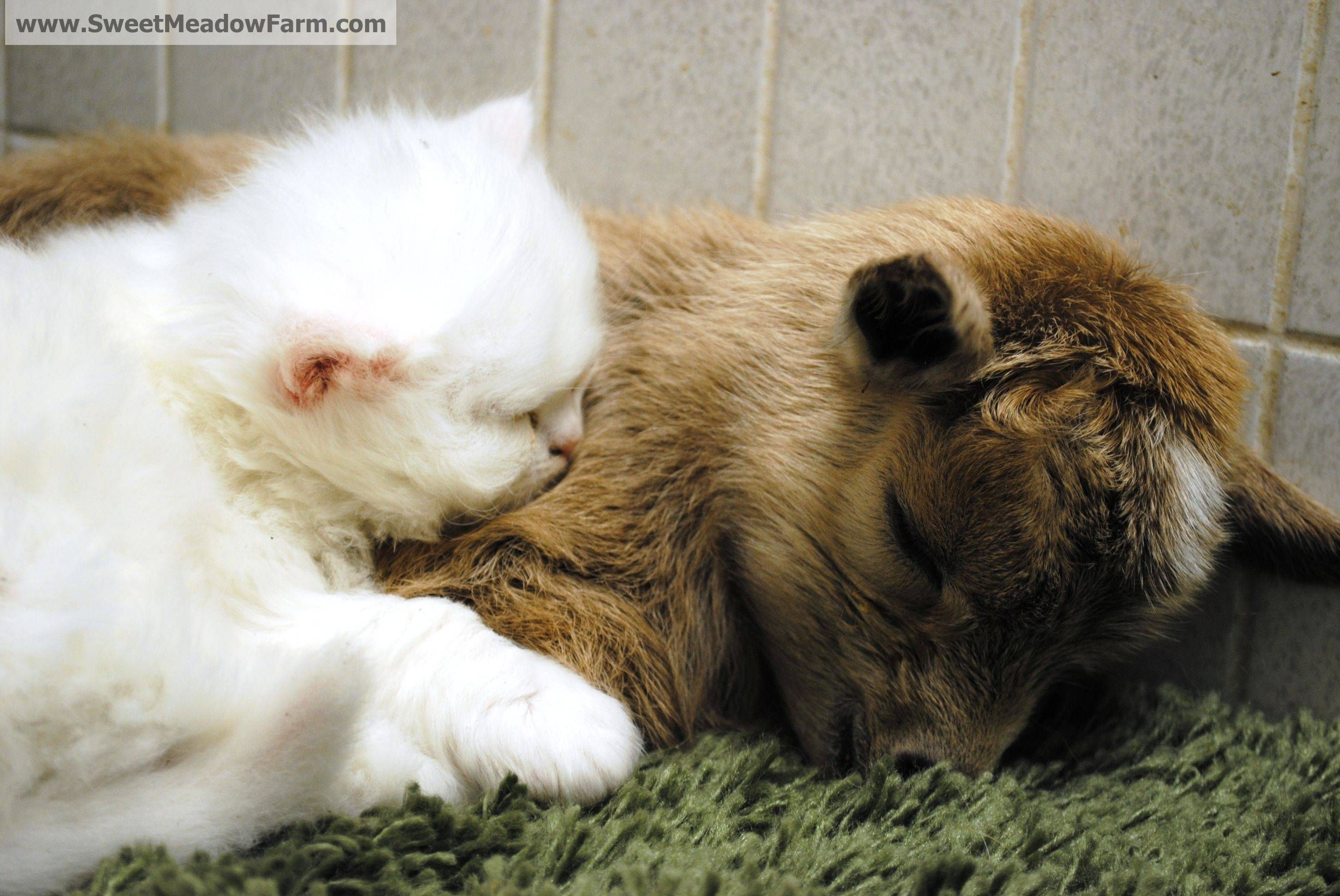 I Think I Have Reached The Pinnacle Of Cuteness Baby Goat And Kitten Snuggling Baby Goats Baby Animals Love Pet