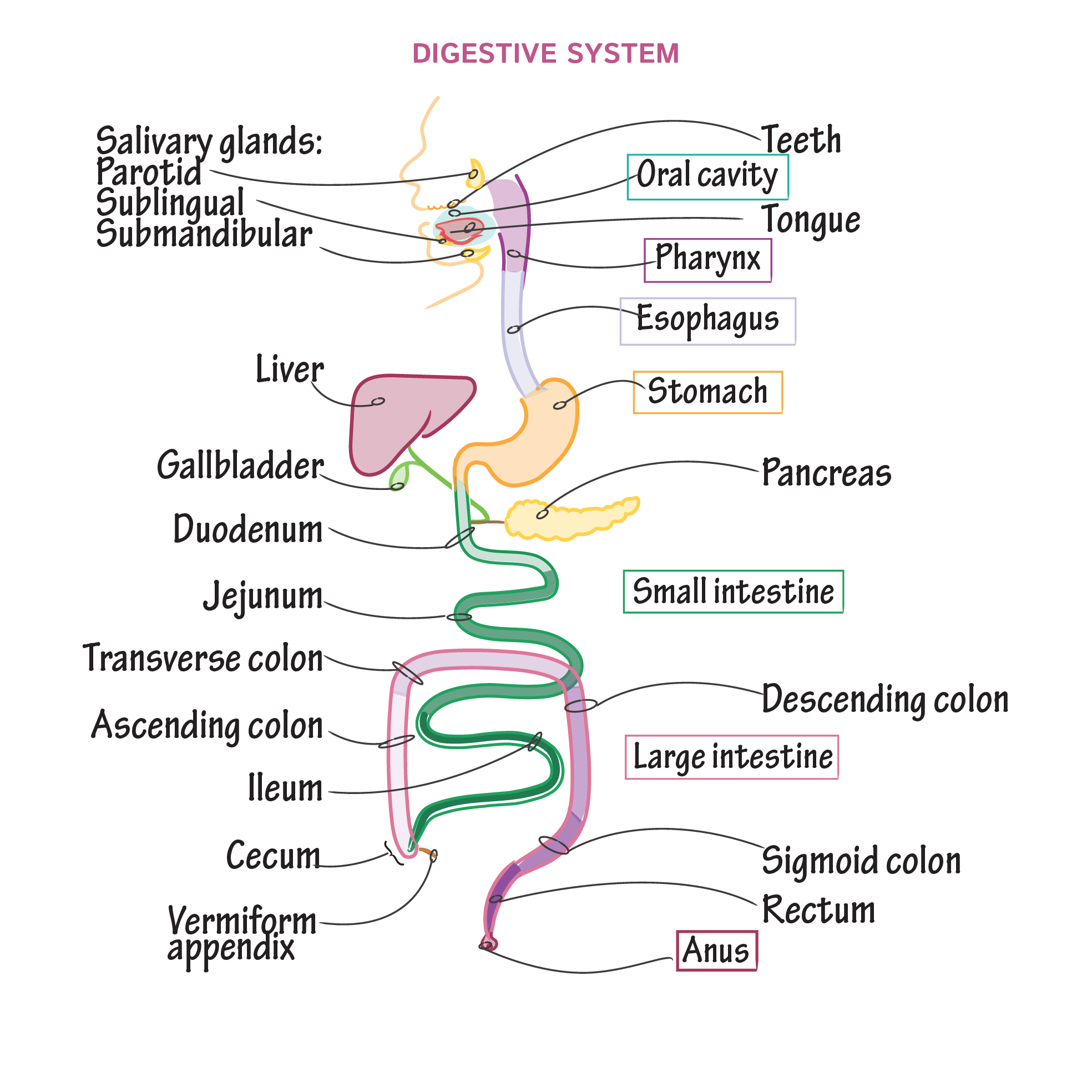 Physiology Tutorials Draw It To Know It Digestivesystem Gastrointestinal Anat Basic Anatomy And Physiology Medical School Studying Anatomy And Physiology