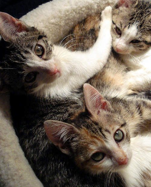Three Kitties With Cerebellar Hypoplasia Wobble Into Forever Homes Click On Image To View Full Story Kitty Baby Cats Kittens