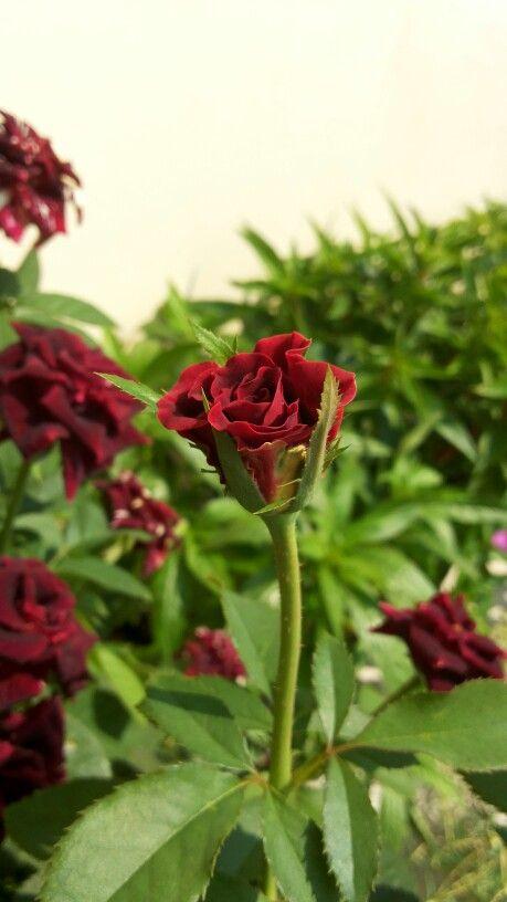 Bby rose