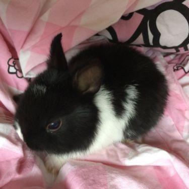 Super Susse Mini Zwergkaninchen Kleinbleibend Schwarz Weiss Zwergkaninchen Baby Kaninchen Kaninchen