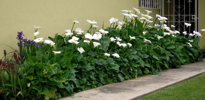 The Art Of Living Beautifully April 2011 Lily Garden Lilly Garden Calla Lillies