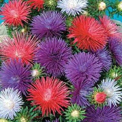 Aster Flowers Smell Amazing Day After Wedding Photo Shoot Paper Flowers Flower Seeds Quilling Flowers