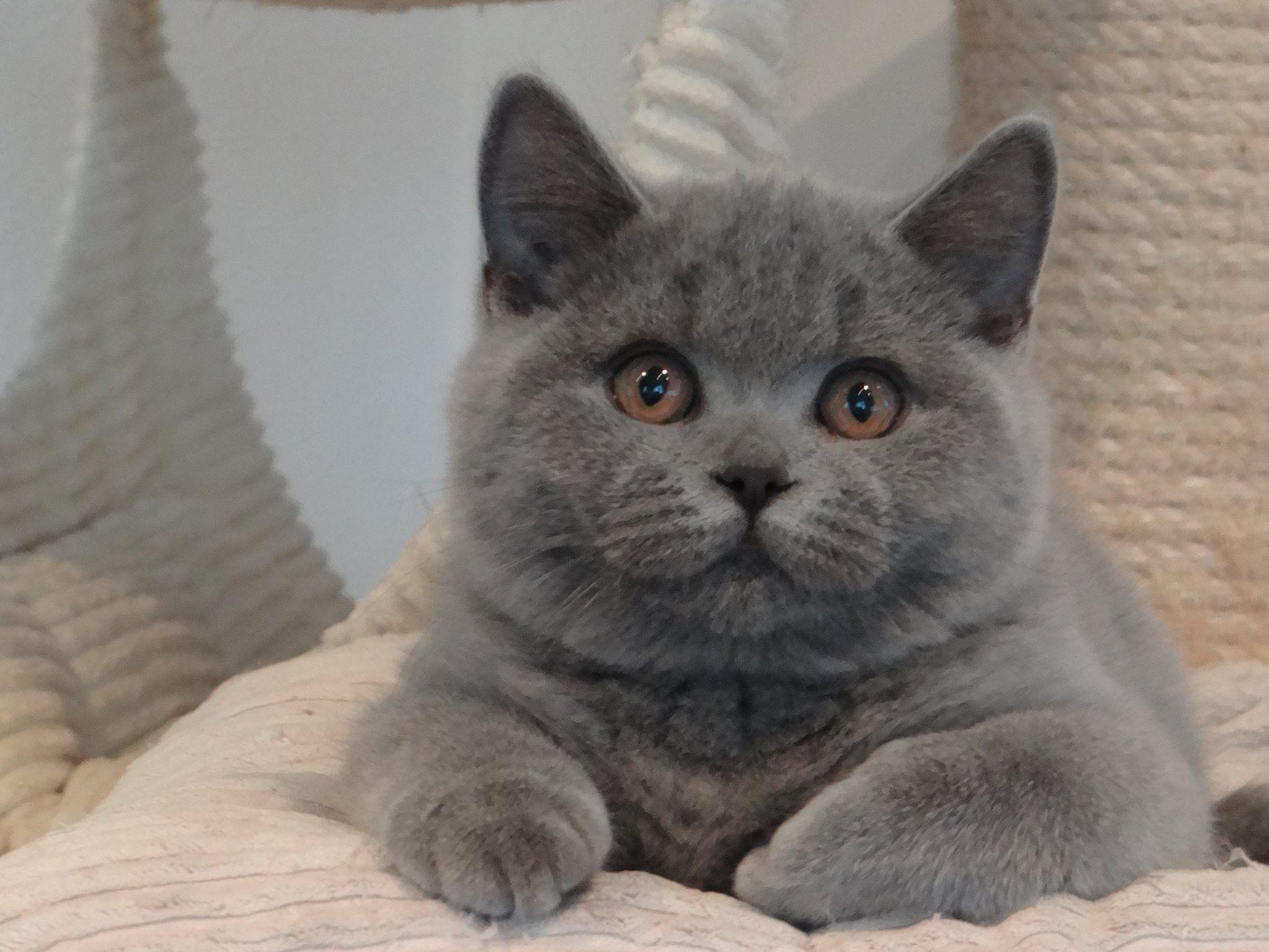 Very Funny Persian Cat British Shorthair Cats Baby Cats British Shorthair