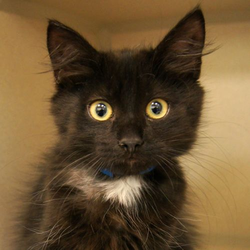 Adopted Ricky Is A 3 Month Old Male Domestic Medium Haired