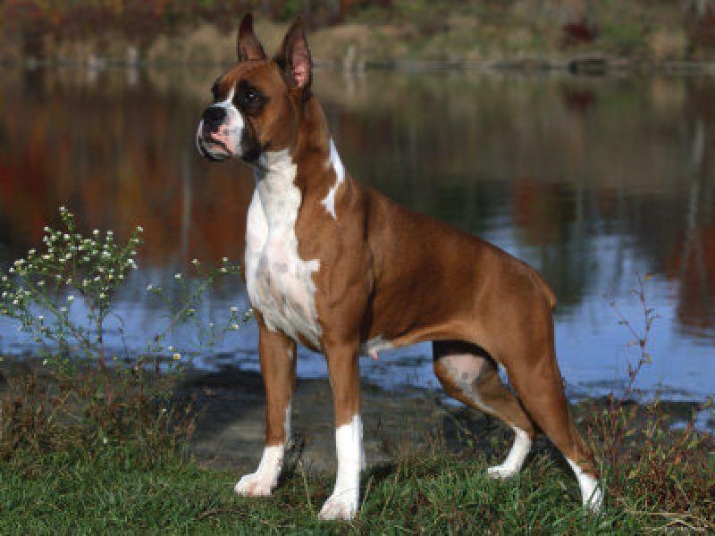 Boxer Dog Breeds Pets Uncaged Boxer Welpe Hunderassen Hunde