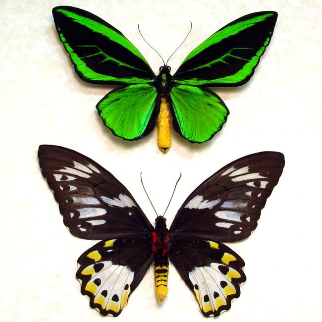 Birdwing Butterflies Archives - Butterfly Designs - Real Framed ...