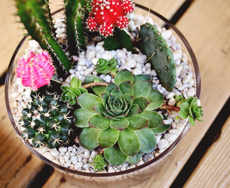 Small Cactus Garden Design cactus garden using rocks and gravel Cacti And Succulent Plants Rarely Need To Be Watered Most People Say To Water