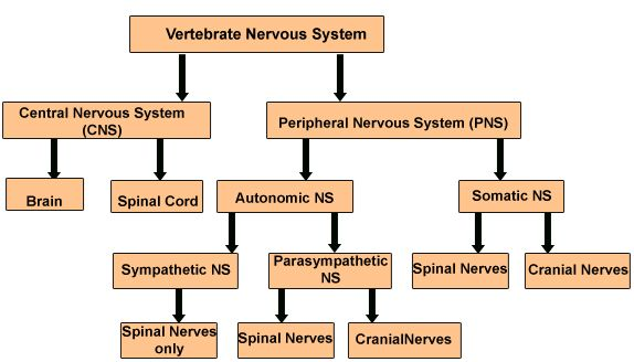 Do you know all the organs of the nervous system nervous system organs of the nervous system ccuart Choice Image