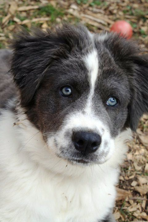 Baloo The Border Collie Saint Bernard Siberian Husky