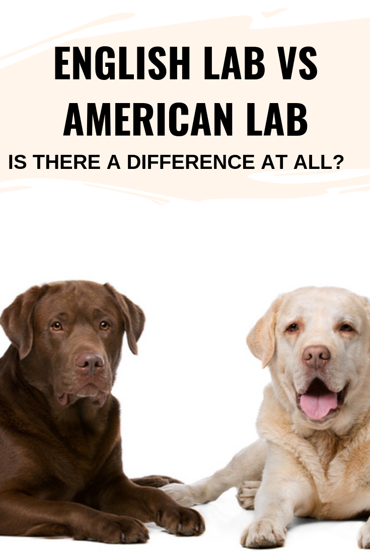 English Lab Vs American Lab Is There A Difference At All The Daily Tail English Lab American Labrador English Lab Puppies