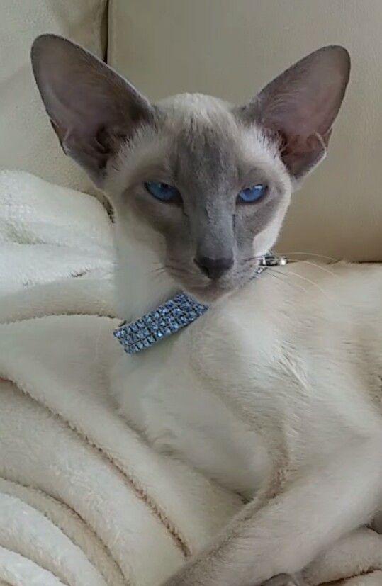 Kiyoshi My Blue Point Siamese Kitten Siamese Cats Blue Point Oriental Shorthair Cats Pretty Cats