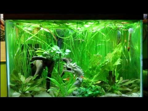 Betta and guppy community fish tank very cool in for Community fish tank