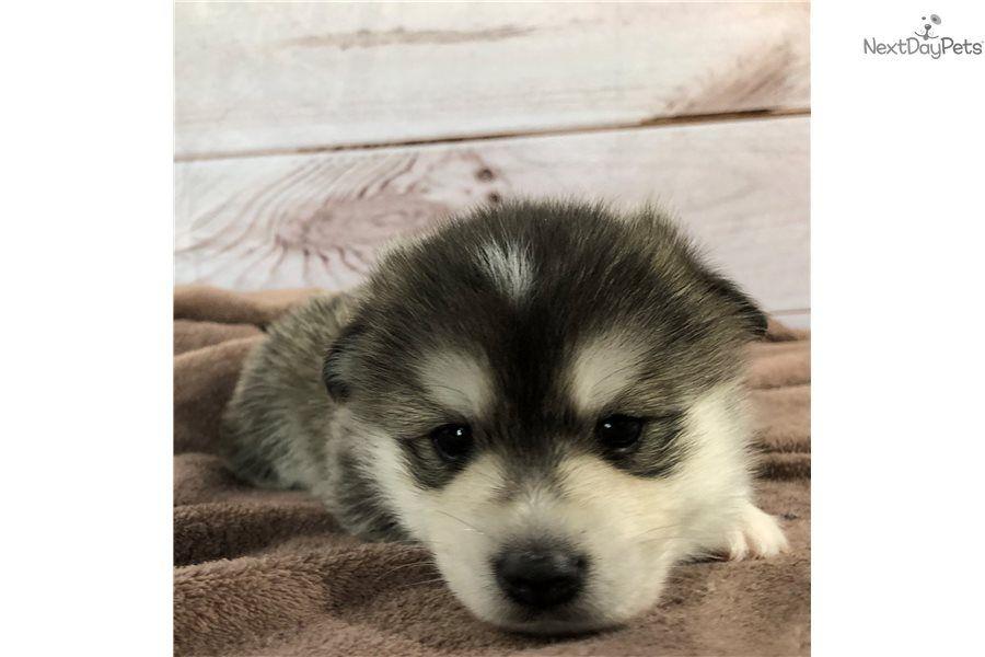 Pomsky puppy for sale near Fort Wayne, Indiana | 3fee2aa5
