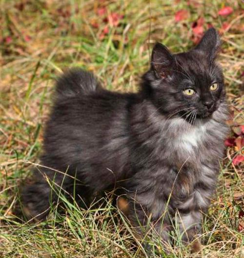 He S A Gorgeous Smoky Ashes Color With Four White Feet Toes Crazy Cats Cool Cats Beautiful Kittens