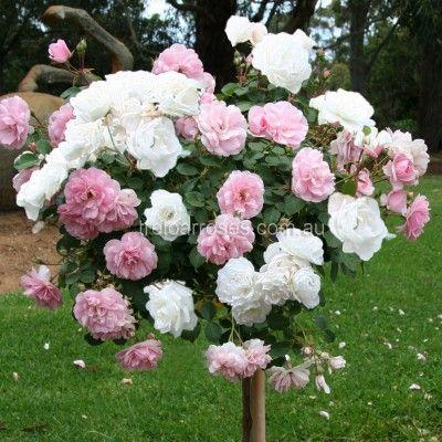 Bonica White Iceberg 90cm Standard Standard Roses Rose Garden Design Fairy Garden Designs