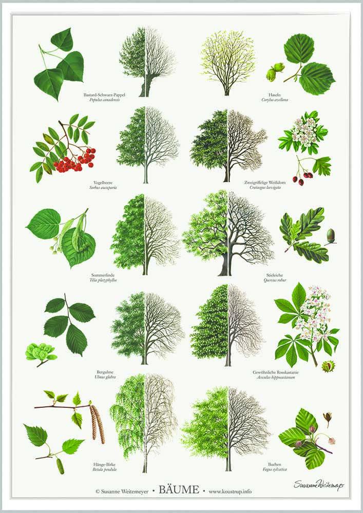 b ume poster a2 trees baum bestimmen natur und botanische illustration. Black Bedroom Furniture Sets. Home Design Ideas