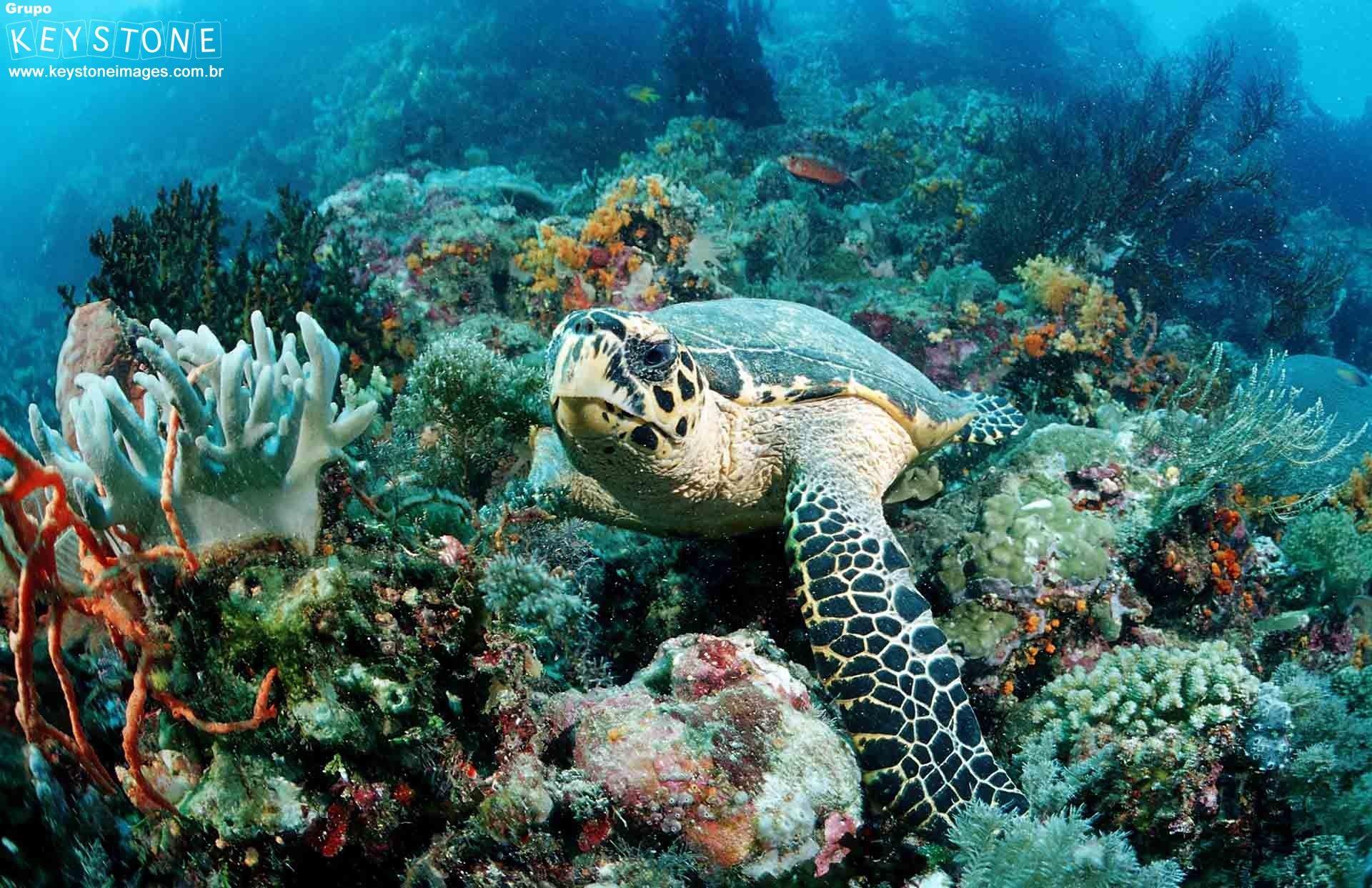 Hawksbill turtle Eretmochelys imbricata, Waktobi, Celebes Sea, Sulawesi, Indonesia