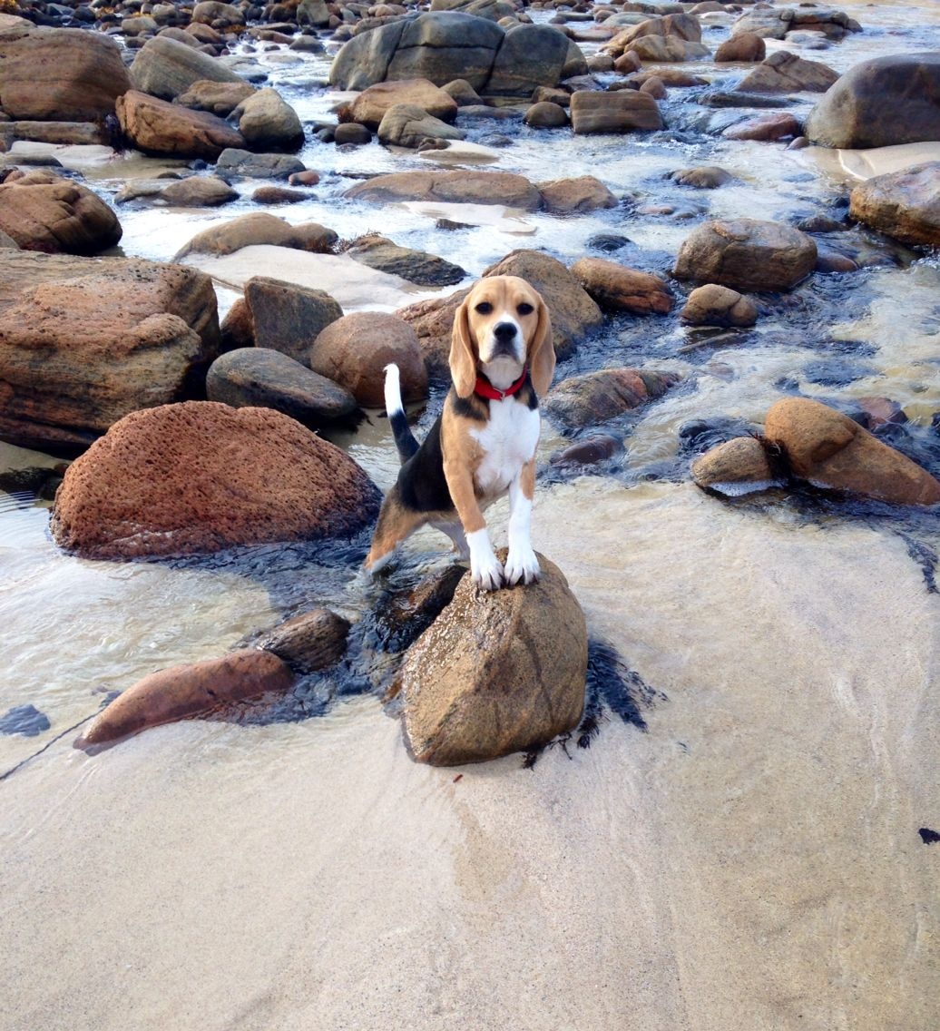Bonnie In Gracetown Western Australia Beagle Puppy Pet Dogs