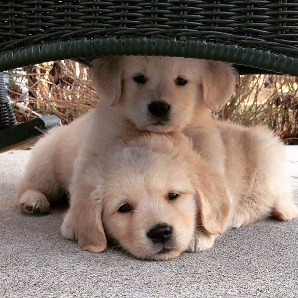 WHO CAN RESIST A GOLDEN PUPPY? Perros y gatos