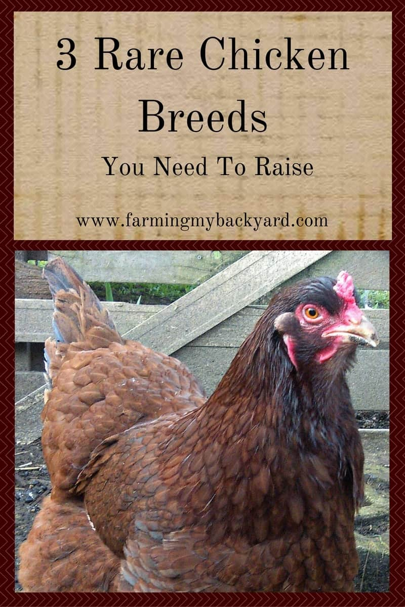 3+ Rare Chicken Breeds You Need To Raise - Farming My ...