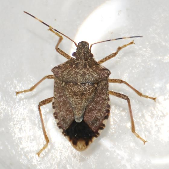 Basement Bugs: Accidently Introduced Into Pennsylvania In