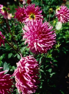 How To Divide Transplant Mums Flower Meanings Mums Flowers Chrysanthemum
