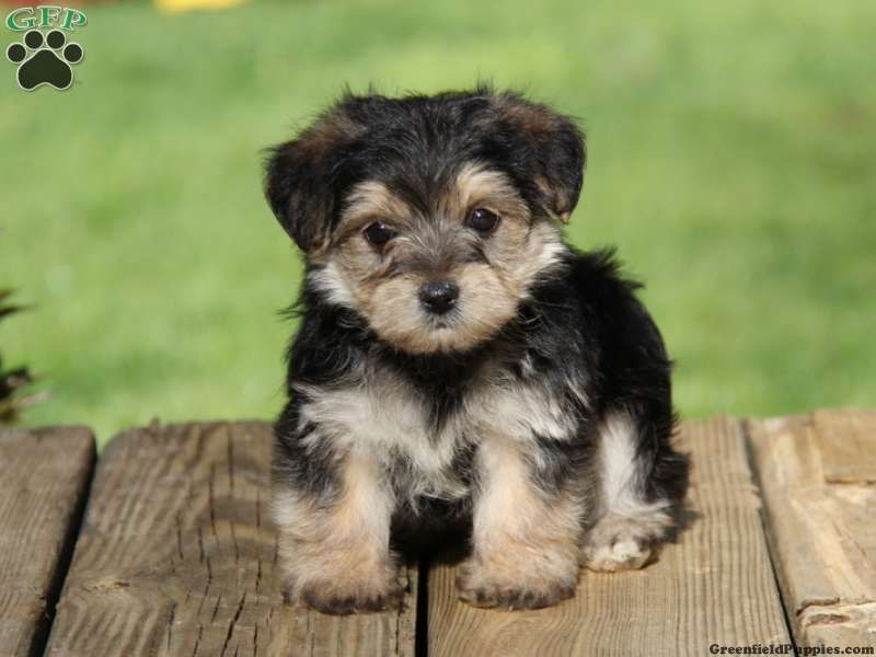Dusty Morkie Puppies For Sale From Gap Pa Greenfield Puppies Morkie Puppies Morkie Puppies For Sale Greenfield Puppies